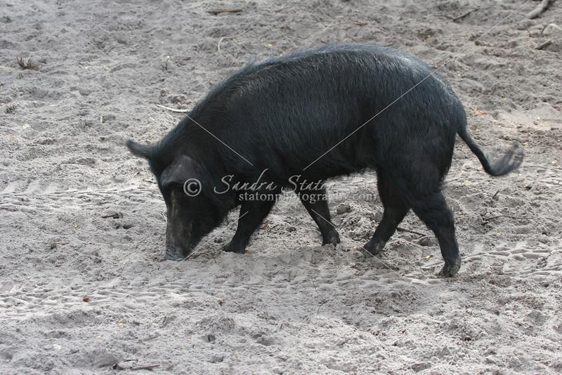 Wild Boar SS9817