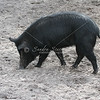Wild sow in Florida woods