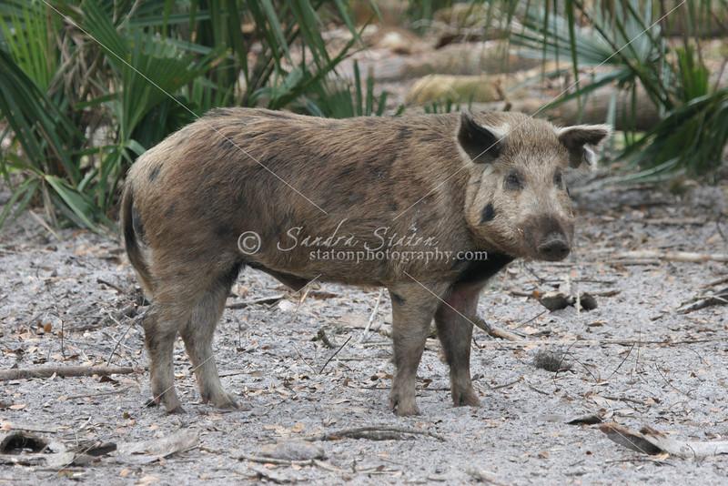 Wild Boar_SS9832