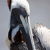 Brown Pelican Face_SS4569