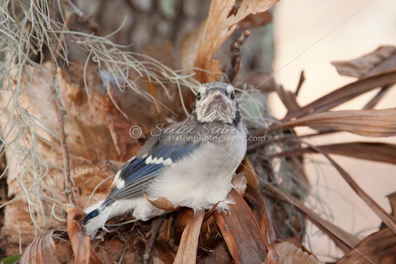 Blue Jay Chick_SS2358