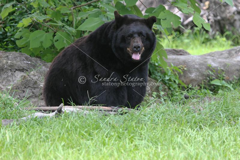 Black Bear_SS4066