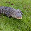 Alligator_SS135950