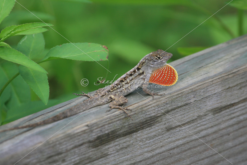 Brown Anole_SS3067
