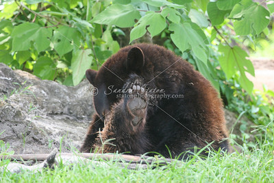 Black Bear_SS4248