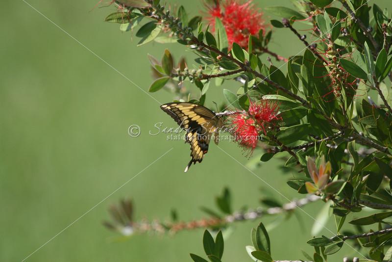 Swallowtail Butterfly_ SS2573