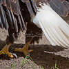 Tail and feet of bald eagle