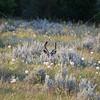 Mule Deer in Velvet_SS9418