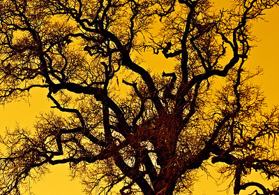 p IMG_8828 winter tree yellow sky p