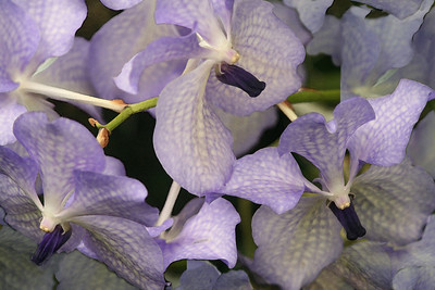 Orchids 1 IMG_0248