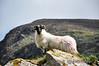 Sheep. Gap of Dunloe. Sat 31.05.14