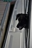 Buddy looks out the window at Garrykennedy. Sat 21.04.18
