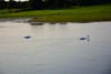 Swans on the Shannon. Sat 28.08.21