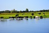 Cows in the water. Sat 28.08.21