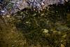 Tadpoles in a stream on the Knockanroe Wood Loop walk. Sat 03.04.21