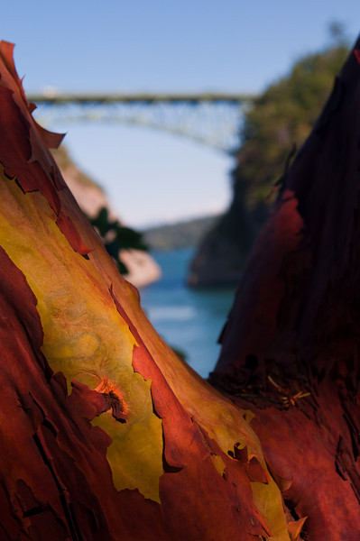 Madrone Tree<br /> Deception Pass State Park, Washington
