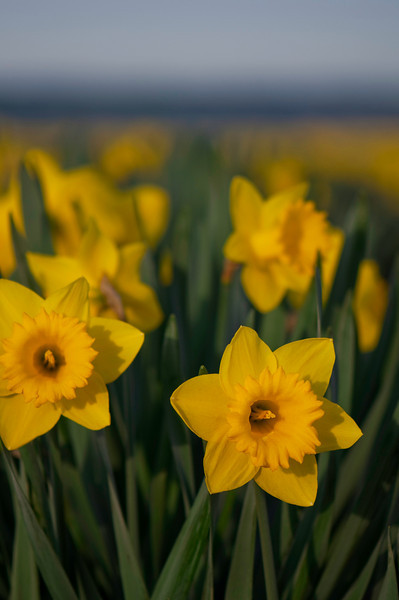 Daffodils<br /> La Conner, WA