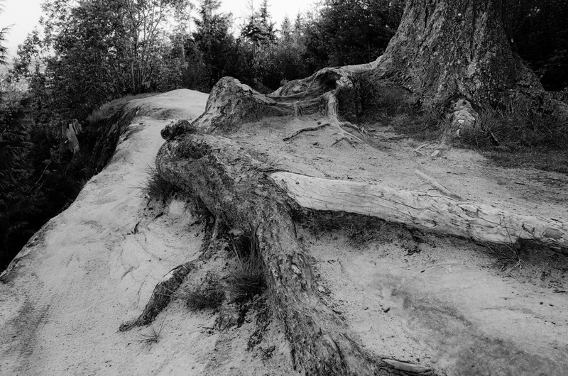 Tree Roots<br /> Galbraith Mountain, Whatcom County, WA