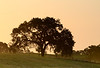 Oak in morning sun