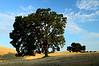 Magnificent Oak