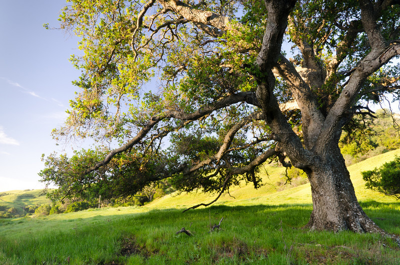 Oak in Morning Sunlight<br /> California Central Coast
