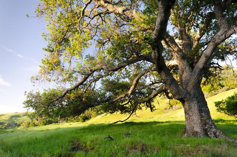 Oak in Morning Sunlight<br /> California Central Coast