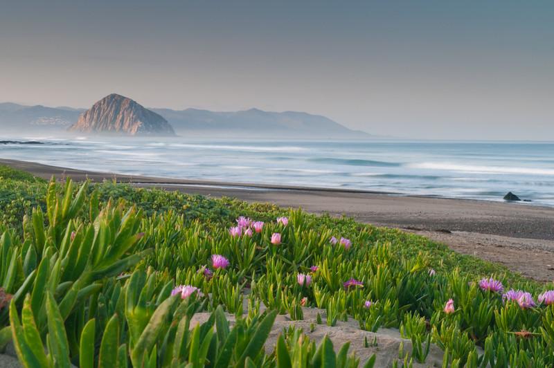 Ice Plants in Bloom at Morro Rock<br /> Morro Bay, California