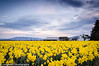 Skagit Valley Farmhouse in Daffodil Field