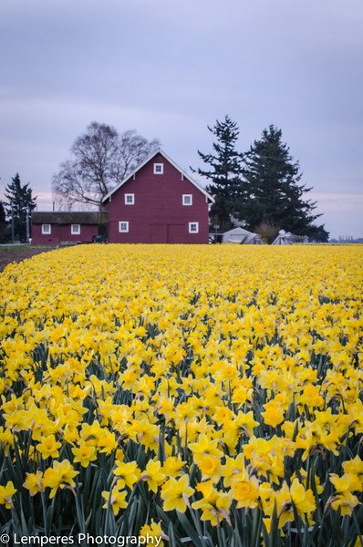 Barn in Daffodil Field