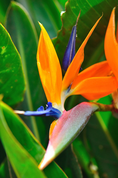 Hawaiian flower<br /> Maui