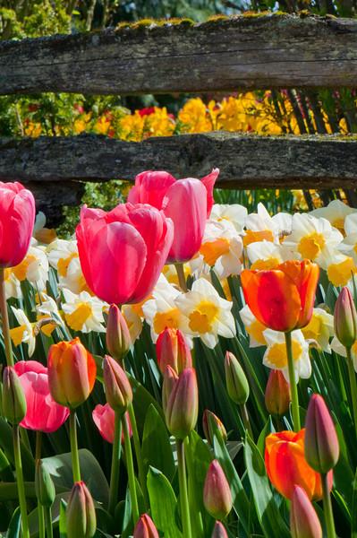 Spring Flowers<br /> Skagit Valley, WA