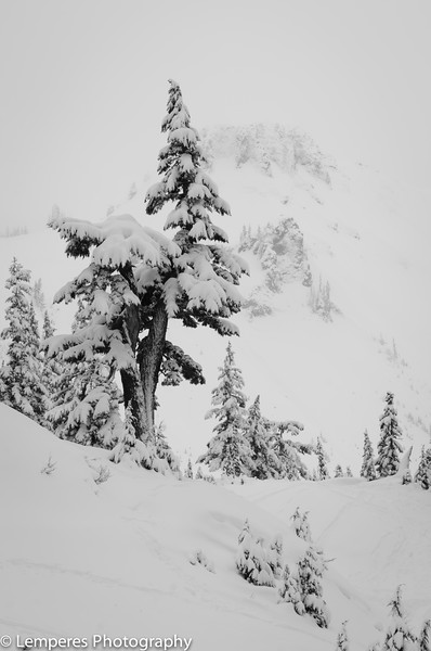 Snowy Tree Below Table Top Mountain<br /> Mt. Baker