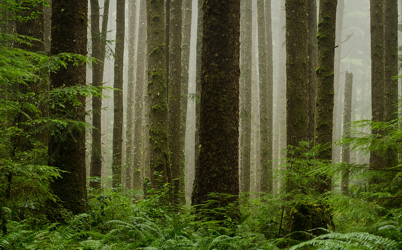 Rain Forest in Fog<br /> Second Beach<br /> Olympic National Park