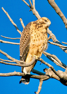 mated hawks cherry hills