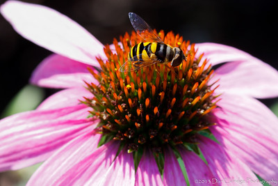 Yellowjacket on Echinacea