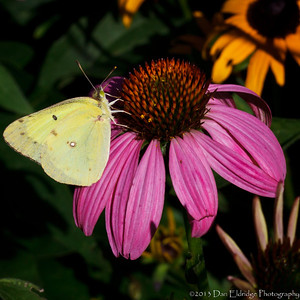 Moth on Echinacea