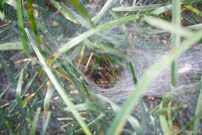 Funnel Web Spider: Agelenopsis pennsylvanica