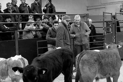 Cattle auction.