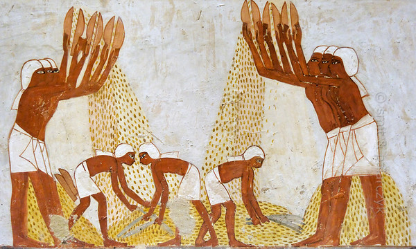 """[EGYPT 29327] 'Winnowing scene in Menna's tomb at Luxor.'  Nine peasants occupy themselves with winnowing wheat in this scene in Menna's tomb. They all wear white scarfs to protect their hair from the dust. The six men at the edge of the scene each hold two scoops with which they toss the wheat, obtained from the piles behind them. The chaff, being lighter flies away while the heavier grains fall to the ground. In the center three men with brooms clear away the dust and straw from the accumulating wheat grains. Menna was an 18th dynasty inspector of estates and overseer of harvests and his tomb (TT 69) is located in the Sheikh Abd el Qurnah Necropolis on the Westbank at Luxor. It is one of the socalled """"Tombs of the Nobles"""" and dates to the end of the reign of Thutmosis IV and the beginning of the reign of Amenhotep III. Photo Mick Palarczyk and Paul Smit."""