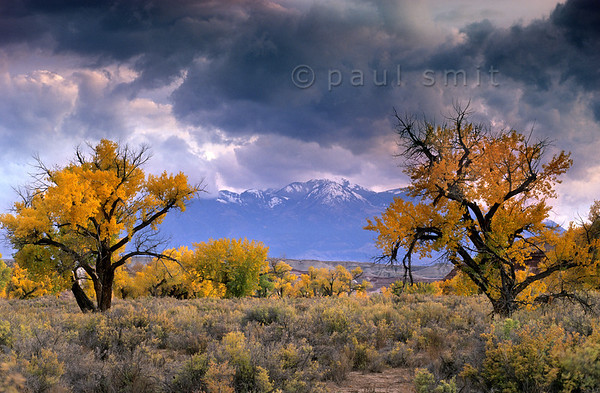 [USA.UTAH 28179] 'Cottonwoods in Fremont valley.'  	The yellow autumn colours of Fremont cottonwoods (Populus fremontii) in the floodplain of the Fremont River west of Hanksville glow magically in the last light of the evening. Photo Paul Smit.