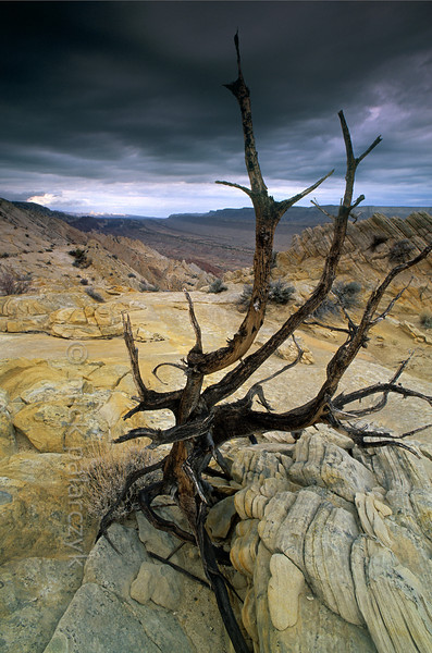[USA.UTAH 28205] 'Tree charred by lightning.'  	The western rim of the Waterpocket Fold in Capitol Reef National Park is an area prone to lightning, as is testified by charred trees and bushes. In the distance the elongated depression of the actual Water Pocket Fold can be seen, with geologic layers surfacing in straight lines. Photo Mick Palarczyk.