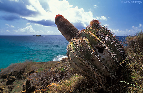 [ANTILLES.stMAARTEN 25.683] 'Pope's head.' A Pope's head or Turk's cap (Melocactus intortus) clings to the shore at Back Bay. The head of the globular cactus may reach 1 meter in length. Photo Mick Palarczyk.