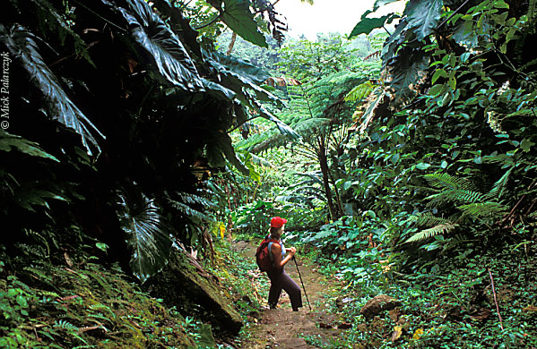 [ANTILLES.SABA 25.524] 'Climbing the volcano'.	 A steep track surrounded by tree ferns and Elephant ears leads to the summit of Mt. Scenery, Saba's 877 m. high dormant volcano. Photo Mick Palarczyk.