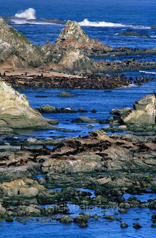 [USA.OREGON 28801] 'Sea lions at Simpson Reef.'  During low tide a large colony of California sea lions occupies Simpson Reef north of Cape Arago (west of Coos Bay). Photo Mick Palarczyk.