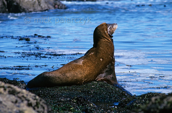 [USA.OREGON 28803] 'Sea lion at Cape Arago.'  A California sea lion is basking in the sun at North Cove, a small bay just north of Cape Arago (west of Coos Bay). Photo Mick Palarczyk.