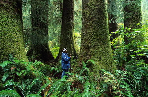 [USA.OREGON 28789] 'Rainforest north of Florence.'  The giant trunks of old-growth Sitka spruce, that can reach three meters in diameter and 100 m in height, tower above a hiker in the coastal temperate rainforest of the Rock Creek Wilderness, 20 km north of Florence. This nature reserve is part of the Siuslaw National Forest. Photo Mick Palarczyk.