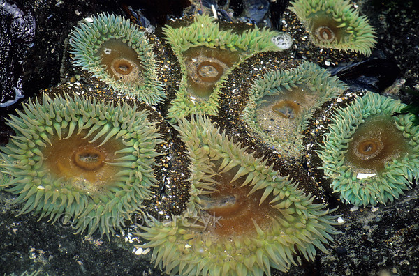 [USA.OREGON 28788] 'Sea-anemones at Strawberry Hill.'  	Sea-anemones in a tidepool at Strawberry Hill, small promontory on the Pacific coast 6 km south of Yachats. Photo Mick Palarczyk.