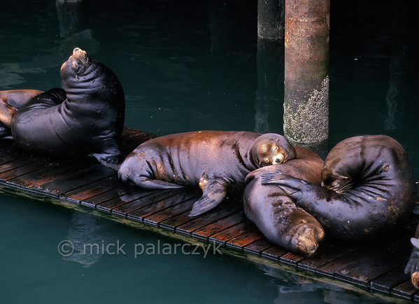 [USA.OREGON 28778] 'Sea lions in Newport.'  	California sea lions occupy a pontoon in the harbor of Newport. Their dog-like barks and playful behavior are an attraction for visitors of the Bayfront area. Photo Mick Palarczyk.