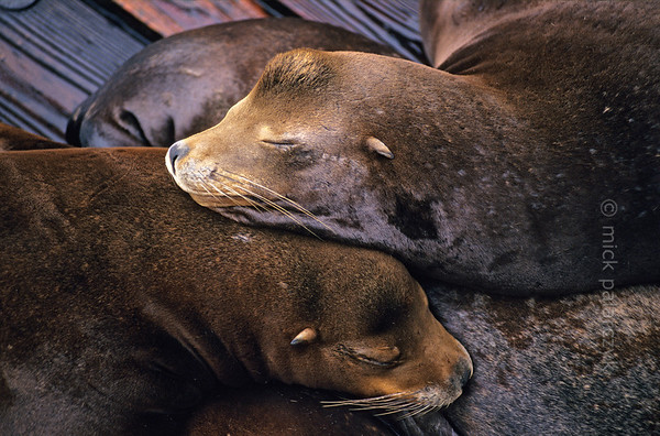[USA.OREGON 28775] 'Sea lions in Newport.'  California sea lions occupy a pontoon in the harbor of Newport. Their dog-like barks and playful behavior are an attraction for visitors of the Bayfront area. Photo Mick Palarczyk.