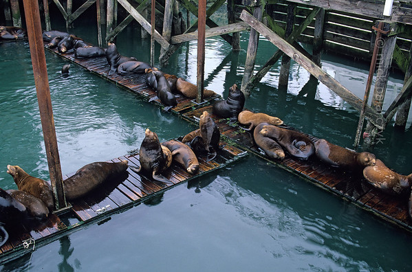 [USA.OREGON 28774] 'Siesta time in Newport.'  It's busy at this pontoon in the harbor of Newport at the Oregon coast. Is it siesta time? Or are all those California sea lions having a sun tan? With their playful behavior and dog-like barks they are an attraction for visitors of the Bayfront area. Photo Mick Palarczyk.